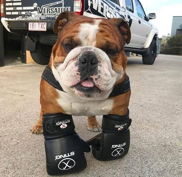 Bulldogs Know How To Throw Down When Necessary Bulldog Funny
