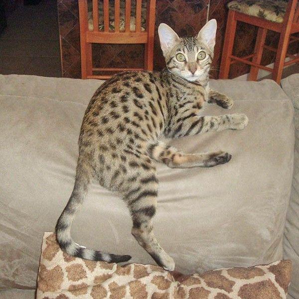 Client Brag Page Savannah Cats Select Exotics Savannah Cat