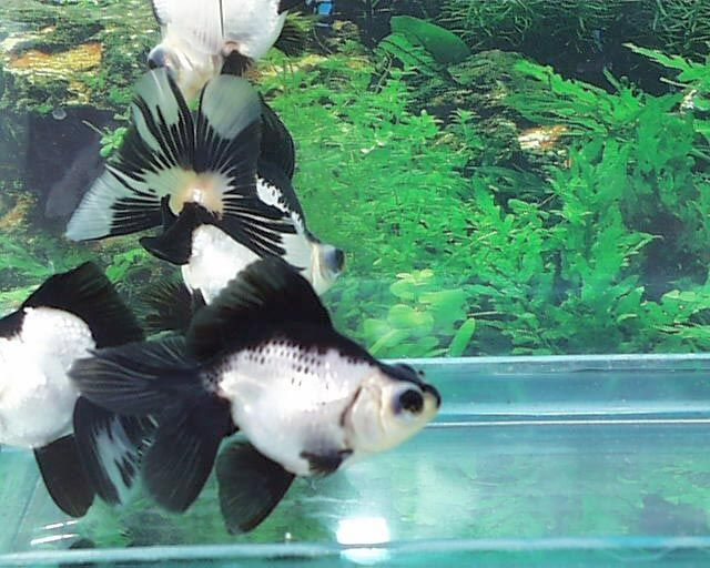 panda god fish - Google Search | Fish that we would love to