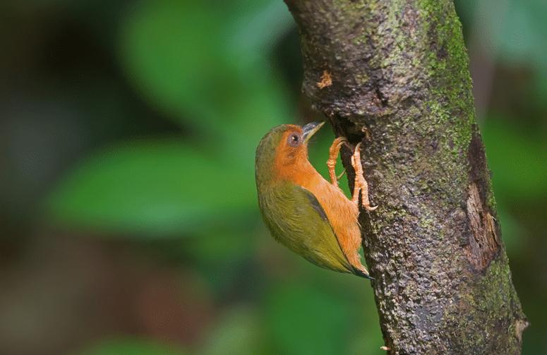 Karakteristik Burung Tukik Tikus Dan Perilakunya Di Alam Liar Jalak Burung