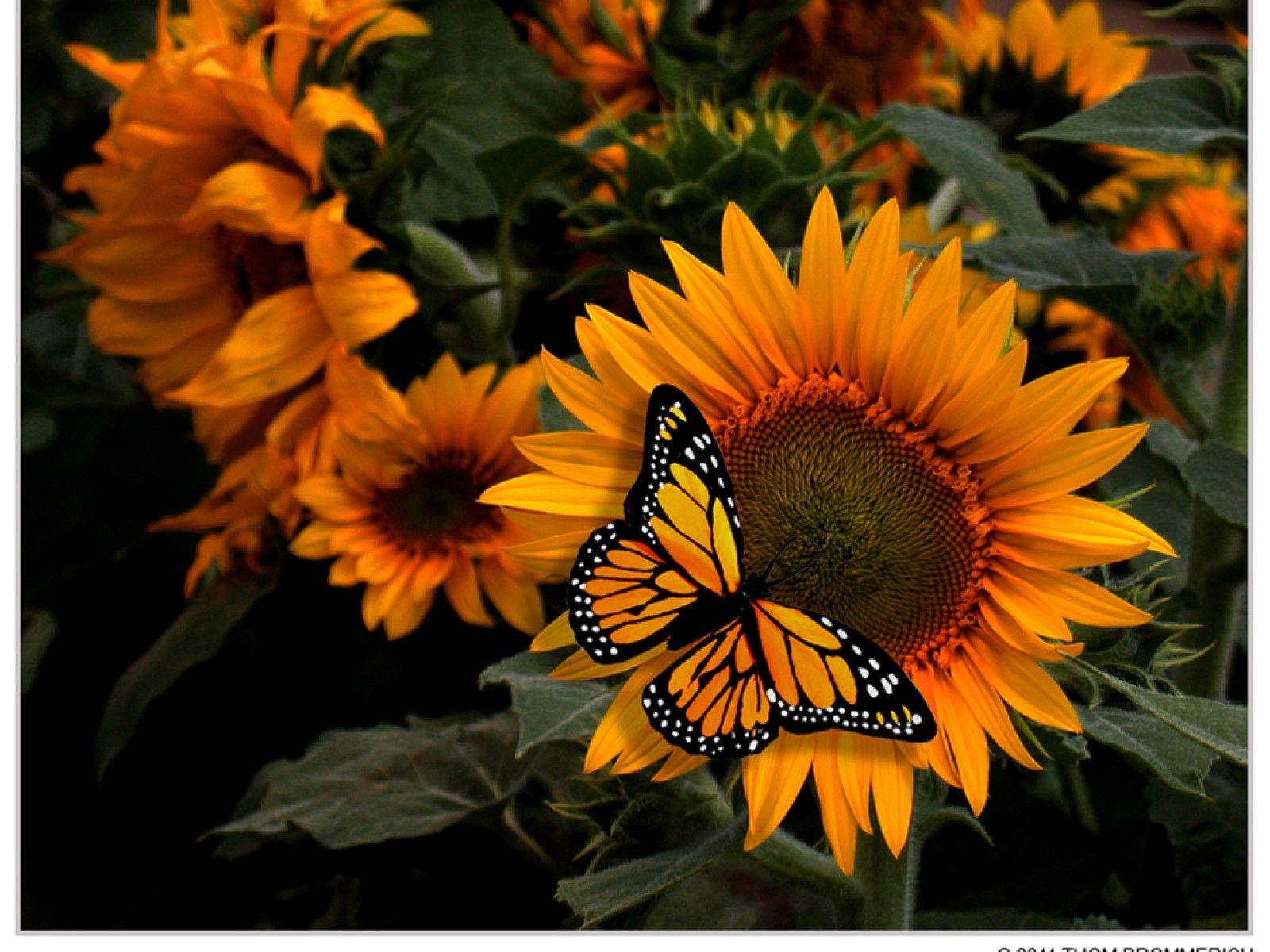 images of butterflies | Flowers Butterflies Fresh New Hd ...