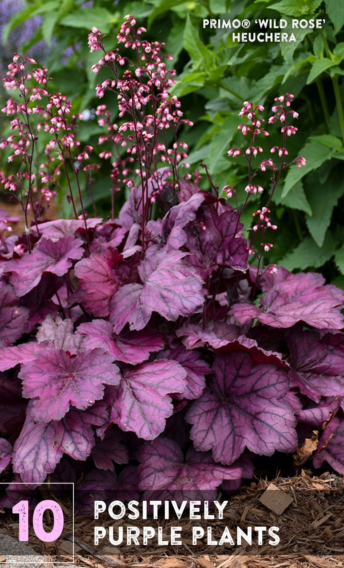 Purple Is The New Neutral In The Gardening World It Goes With