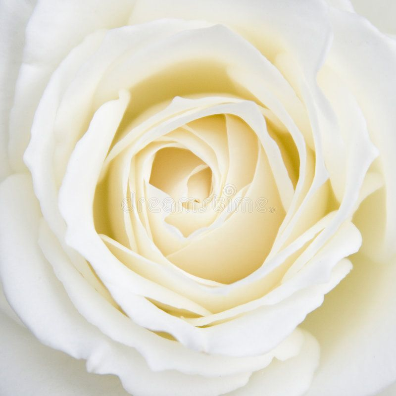 White Rose. Flower - silky and smooth ,