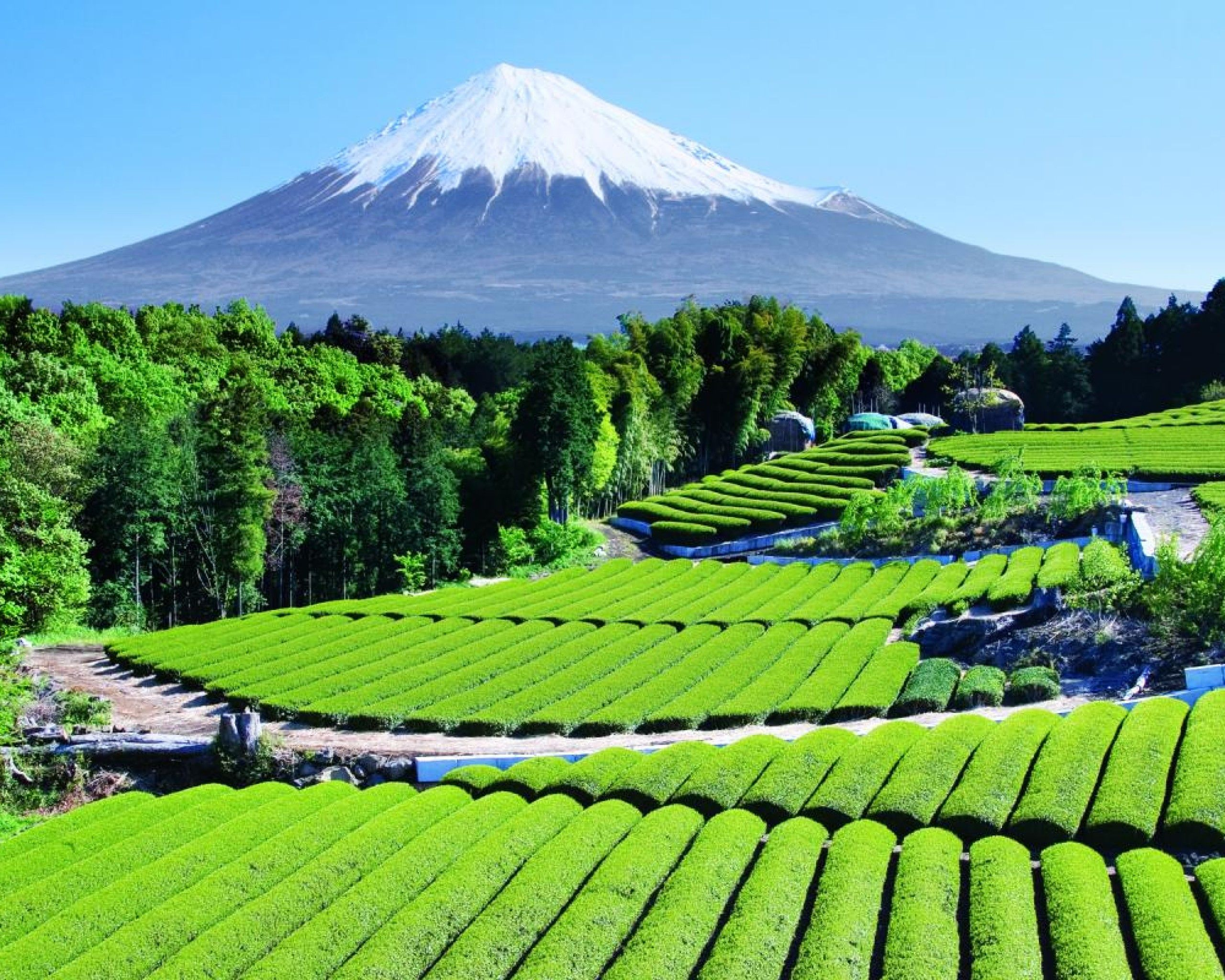 Tea Garden near Mt. Fuji, Japan (With images