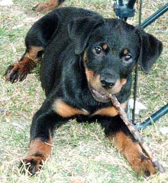 Rottweiler Dog Photo Rottweiler Buy Dogs Loving Hearts