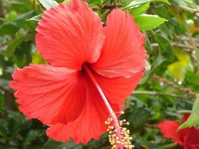 28 Powerful Home Remedies For Hair Growth Green Yatra Blog Hibiscus Flowers Hibiscus Dried Hibiscus Flowers