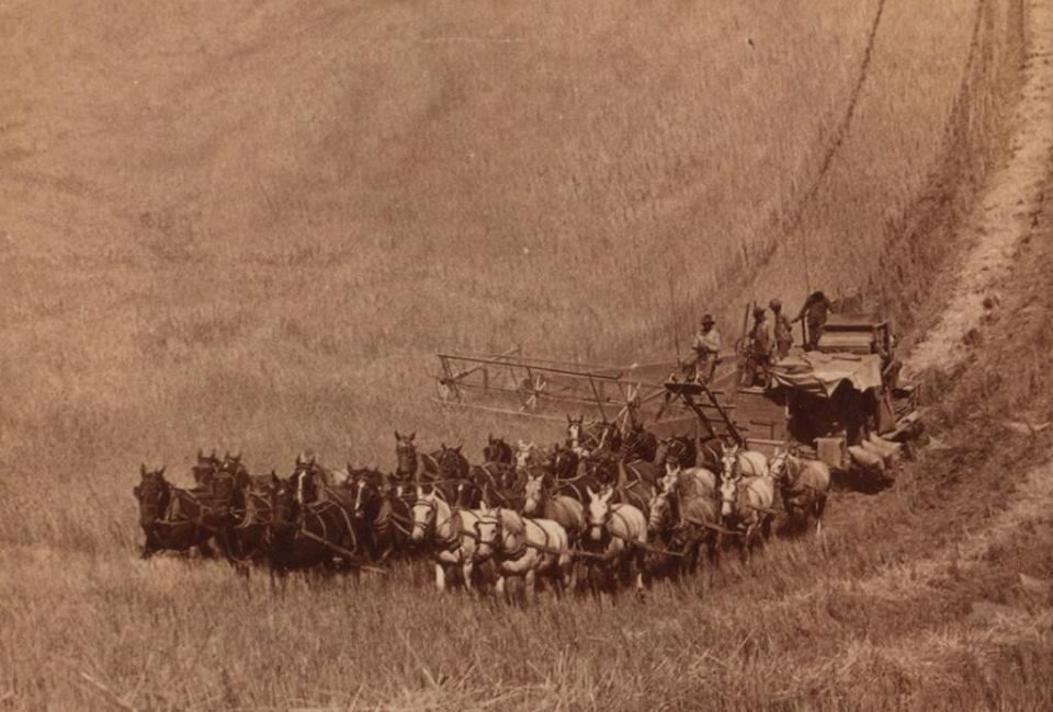 Combine harvester being pulled by thirty-three horses, 1902