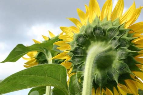2013 sunflower3 http://mygreen100.wordpress.com/