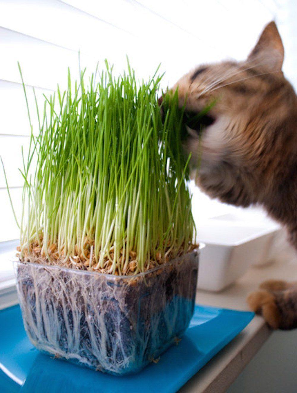 Amazon Com Todd S Seeds Wheatgrass Seeds One Pound Cat Grass