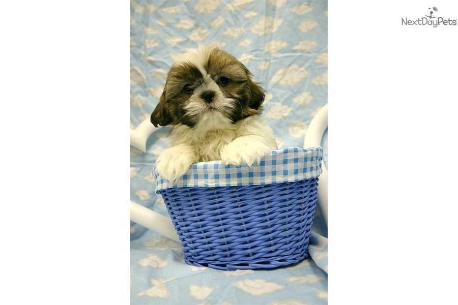 Shelly Shih Tzu Puppy For Sale Near New York City New York