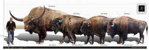Size Comparison Of Bison Latifrons Left B Bison
