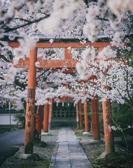 Best Photography Landscape Japan Cherry Blossoms 63 Ideas Japan Photography Blossom Trees Cherry Blossom Tree