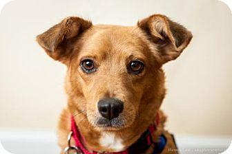 Corgi Dachshund Mix Dog For Adoption In Washington D C Ronda