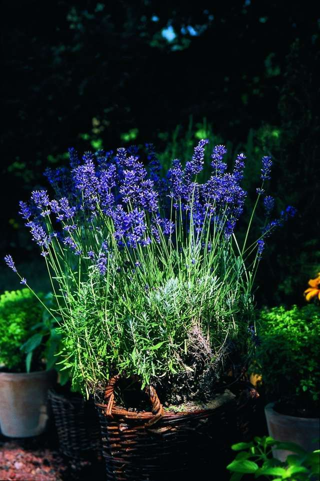 Echter Lavendel Kubel Topf Korb Garten Deko Pflegetipps Pflanzen