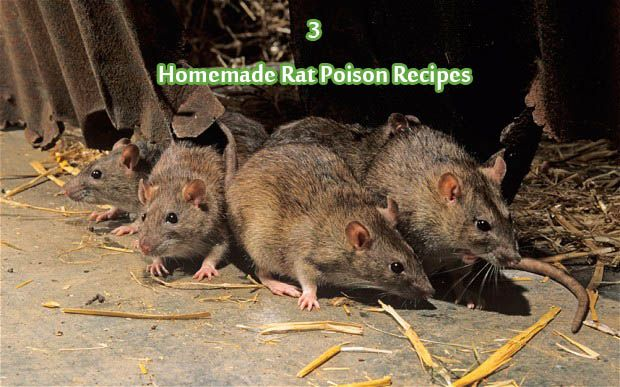 3 Homemade Rat Poison Recipes