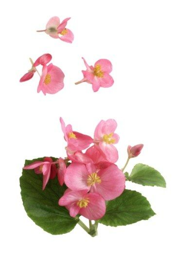 bégonia : sa signification dans le langage des fleurs - le langage