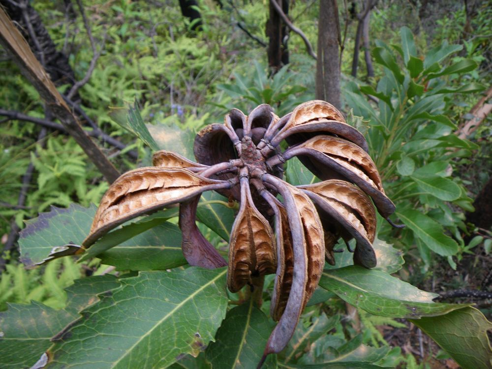 Waratah seed pods. Telopea speciosissima, commonly known