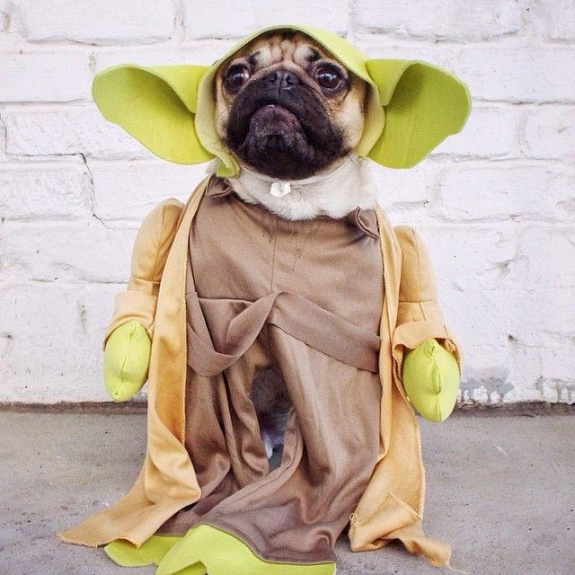 Doug The Pug Isn T Sure If He S A Pup Or Person Pugs In Costume
