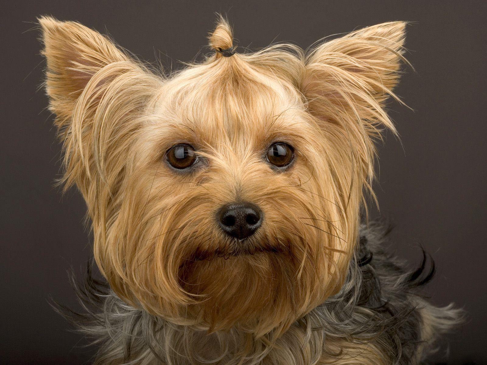Minus the hair tie this cute dog looks like Gizmo Cute