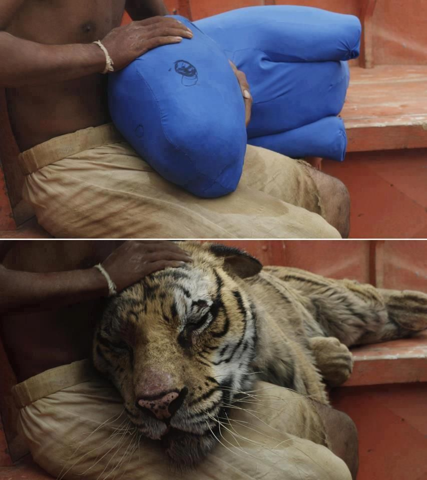 life of pi blue tiger Life of pi, Visual effects