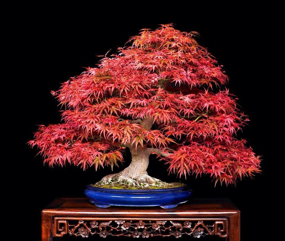 bonsai bonsai baum kunst und natur. Black Bedroom Furniture Sets. Home Design Ideas