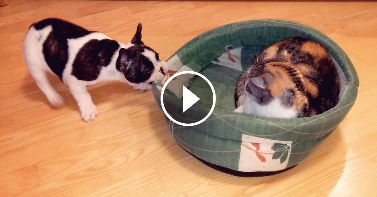 Puppy Desperately Wants To Get His Bed Back But The Cat Refuses