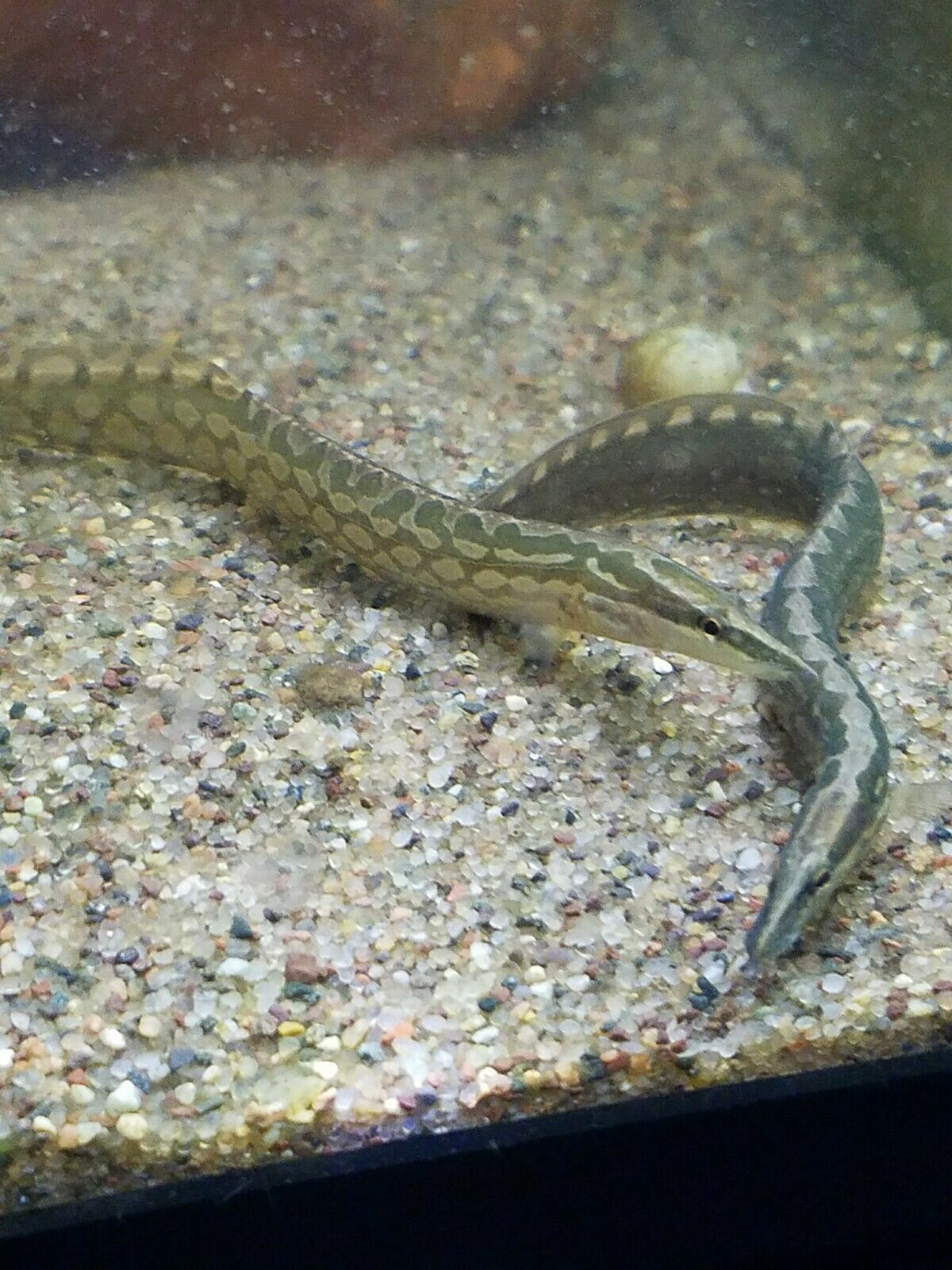 Tire Track Eel They Are Escape Artists So A Secure Lid Is