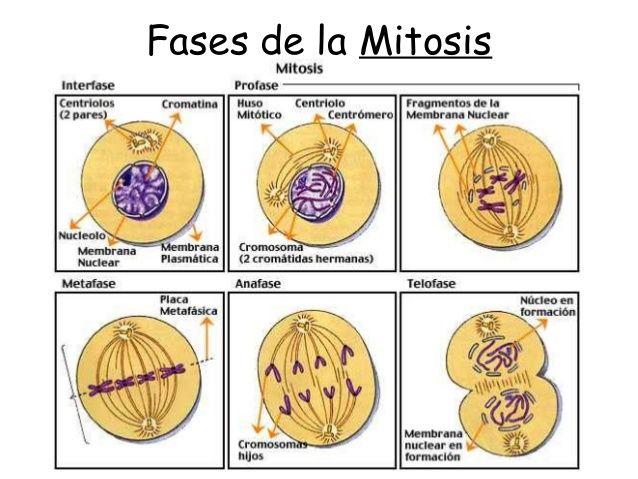 Resultado de imagen de fases de la mitosis | Feedback 2. Innovación ...