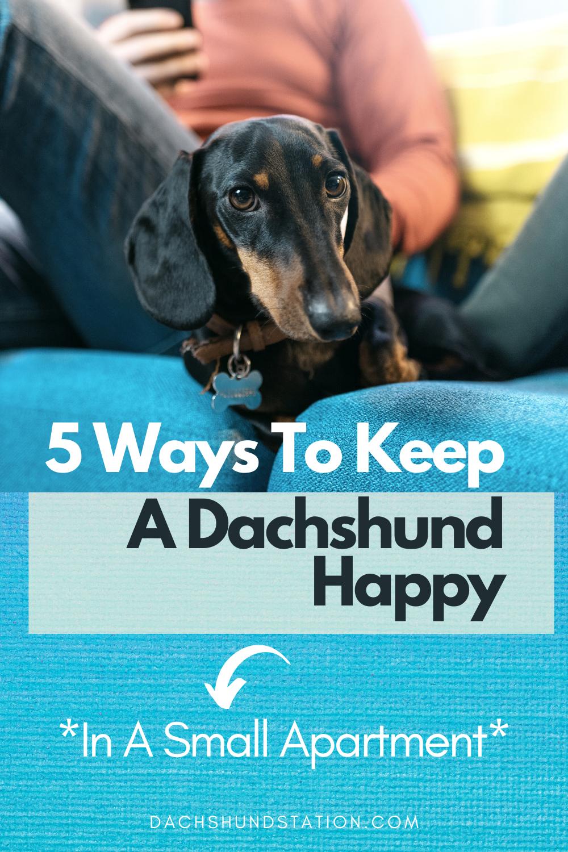 5 Ways To Keep A Dachshund Happy In A Small Apartment Dachshund Station Dachshund Puppy Training Apartment Dogs Dachshund Training