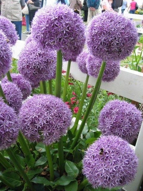 Allium Globemaster Planting Bulbs Plants Allium Giganteum