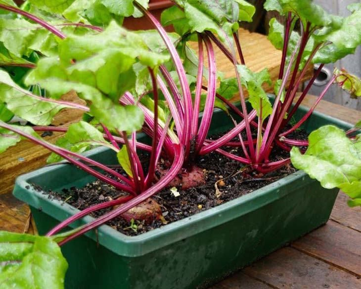 How To Grow Beets In Pots Growing Beets Organic 400 x 300