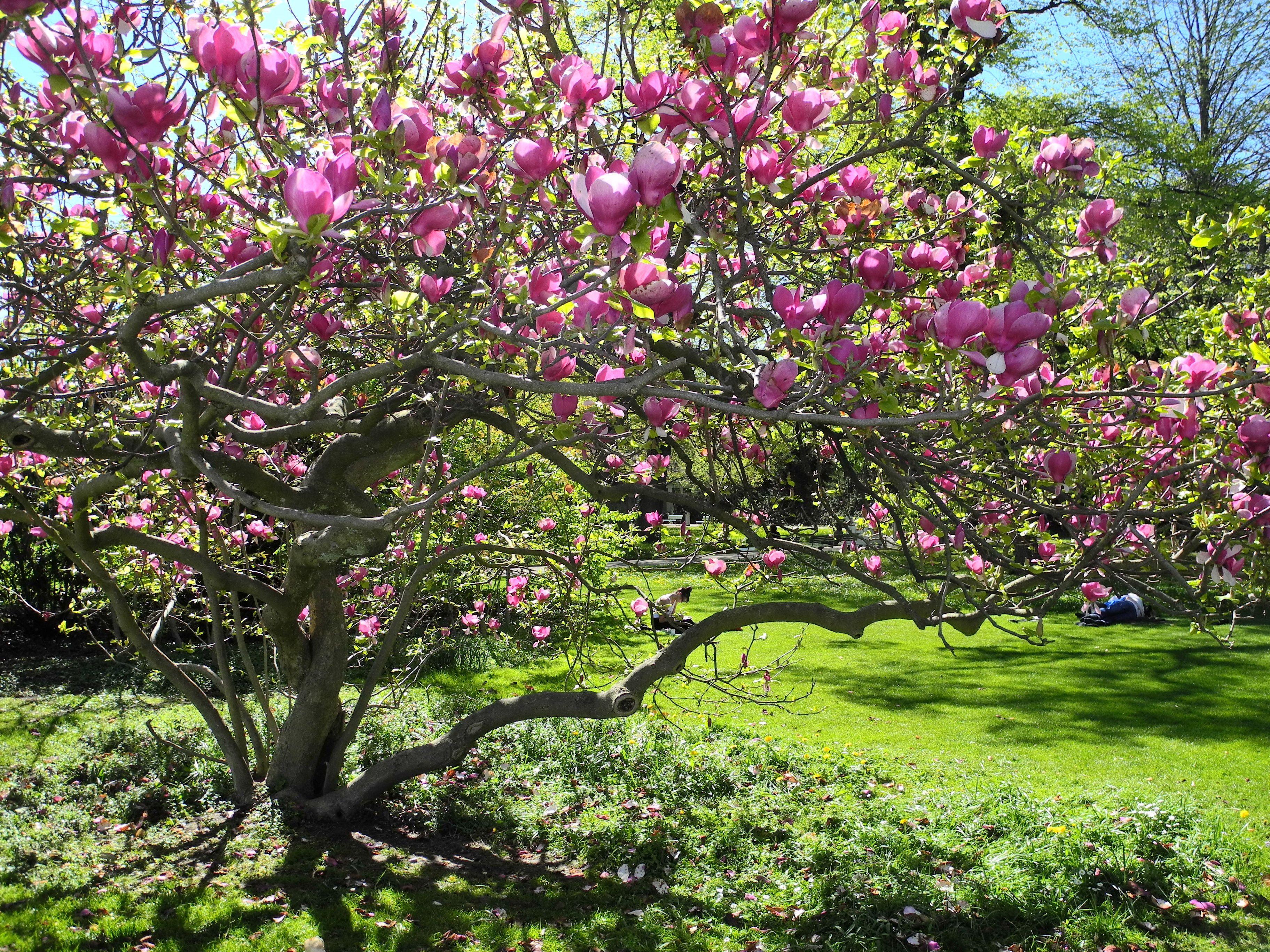 magnolia soulangeana la tree planting pinterest more. Black Bedroom Furniture Sets. Home Design Ideas