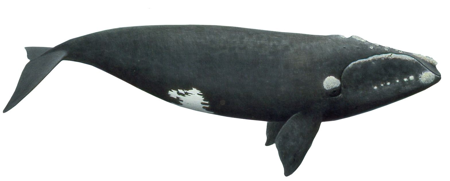 north-atlantic-right-whale-image-with-white-background.jpg ...