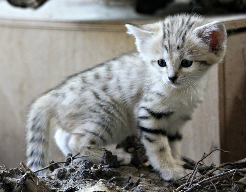 Baby sand cat Sand cat, Small wild cats, Zooborns