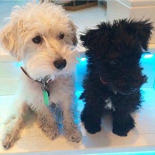 Poodle Jack Russell Terrier Jack A Poo Terrier Poodle Mix