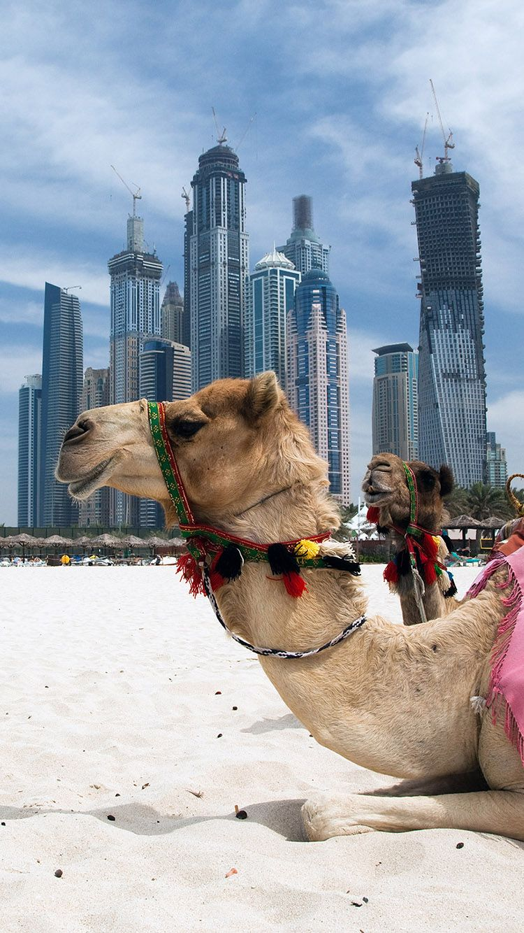 Tap And Get Free App Camel On The Modern Dubai City Background