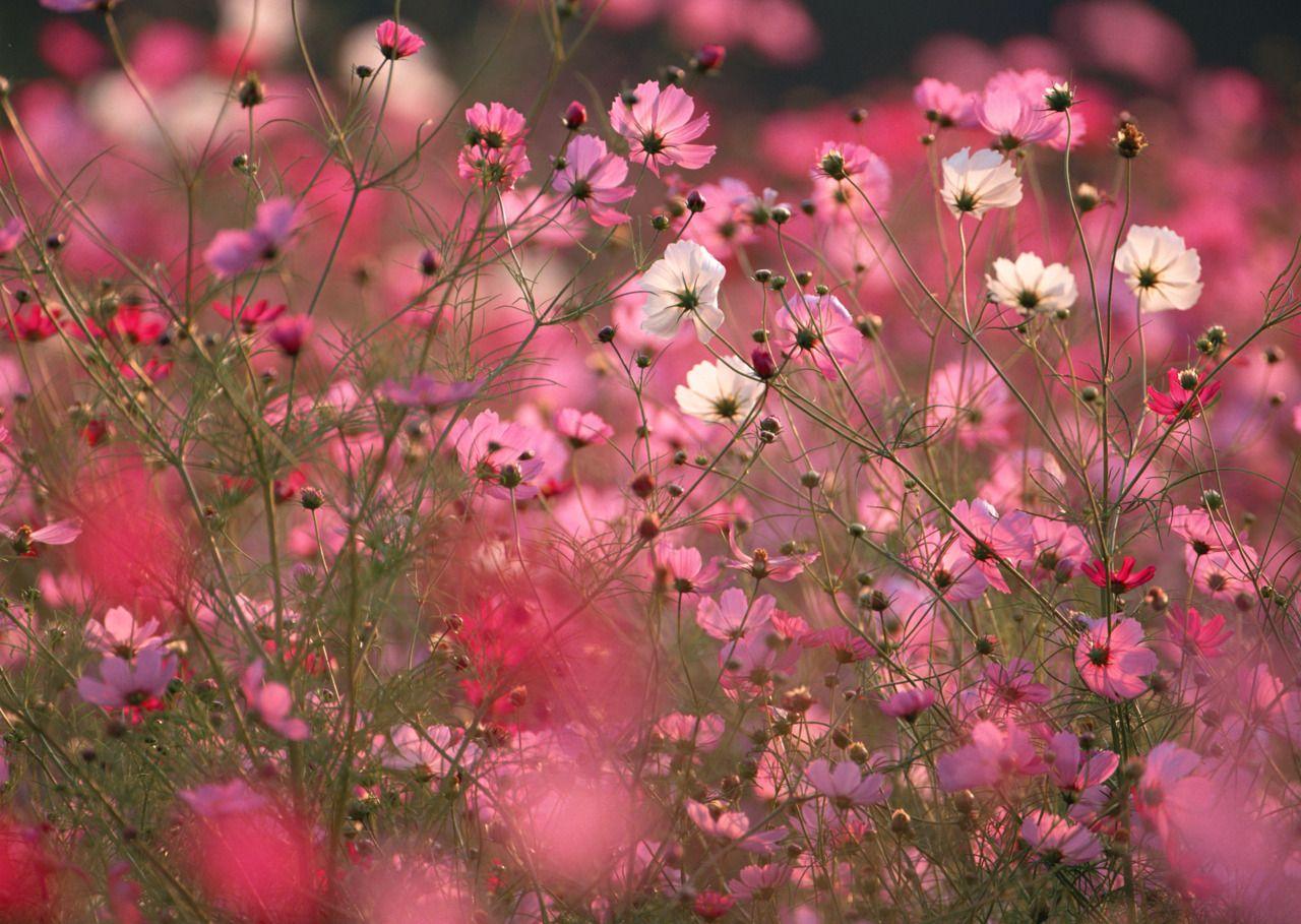 Field Of Pink 3 Gods Masterpiece Pinterest Fields