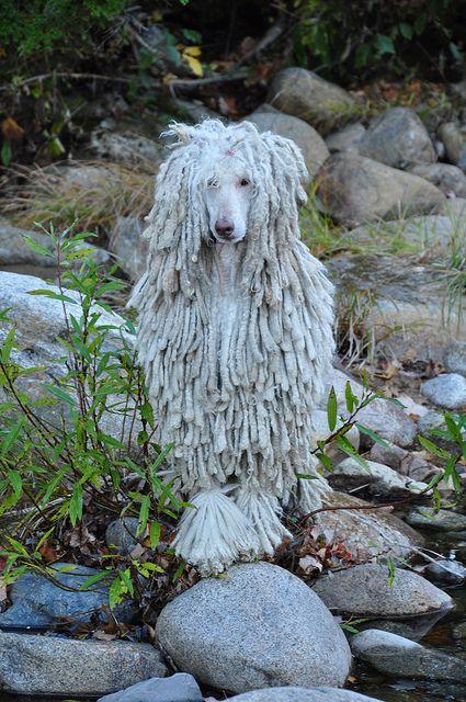 Concerned 41 52 Poodle Poodle Dog Standard Poodle