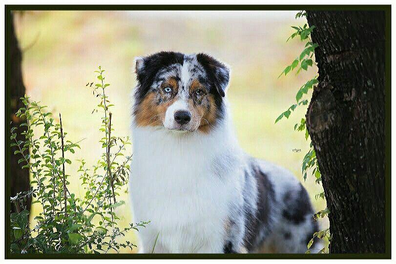 Wildwingsaussies Australian Shepherd Puppies Australian Shepherd Dogs