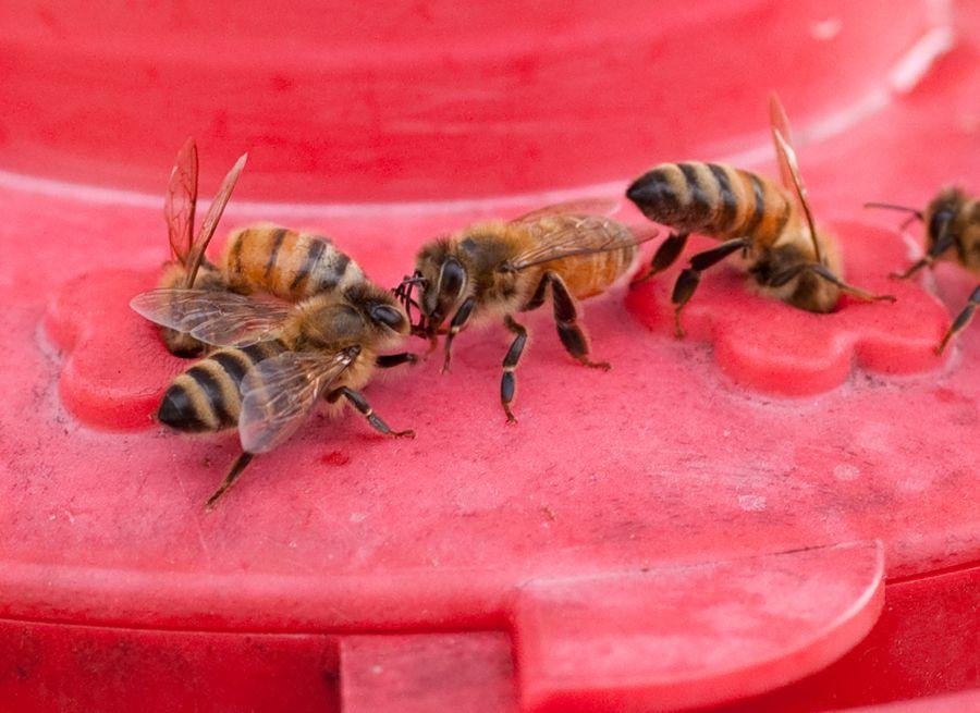 honey bees at a hummingbird feeder Bees Pinterest