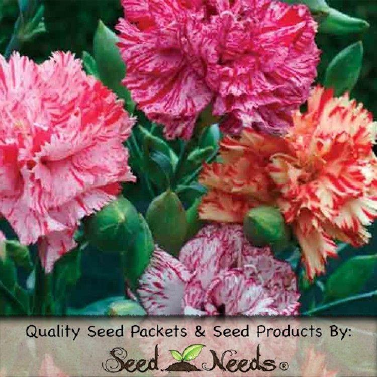 Carnation Seeds Picotee Mixture Dianthus Caryophyllus Flori Culoare Frumusețe