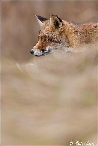 Markus Lenzen rotfuchs vulpes vulpes auf pirsch img 0737 20130209 fox