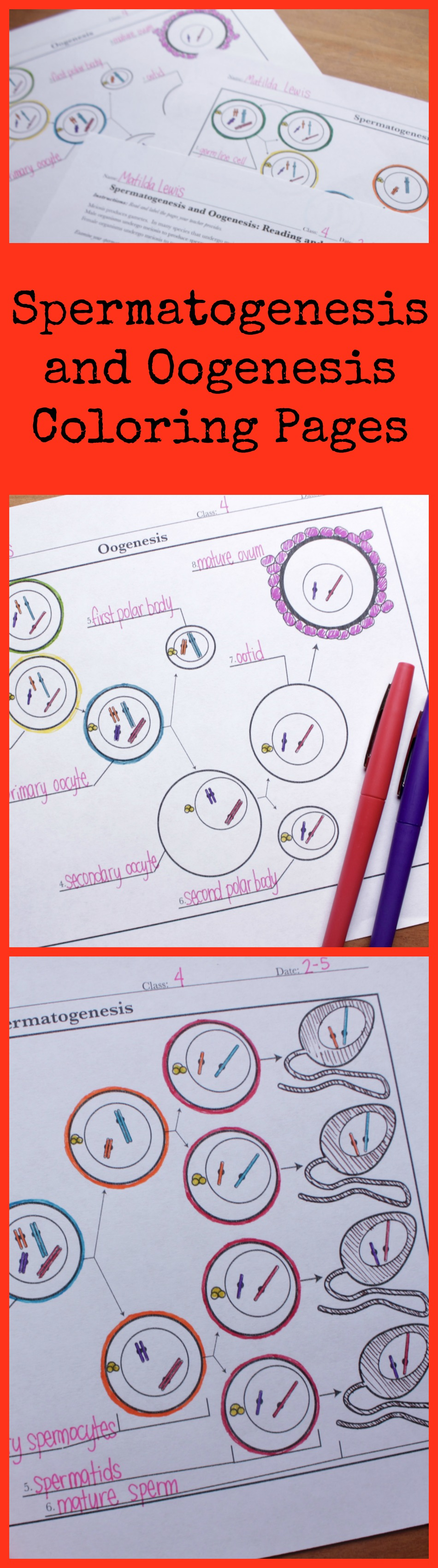 Spermatogenesis and oogenesis diagram activities high school love these spermatogenesis and oogenesis coloring pages for my high school biology class science with mrs lau ccuart Image collections