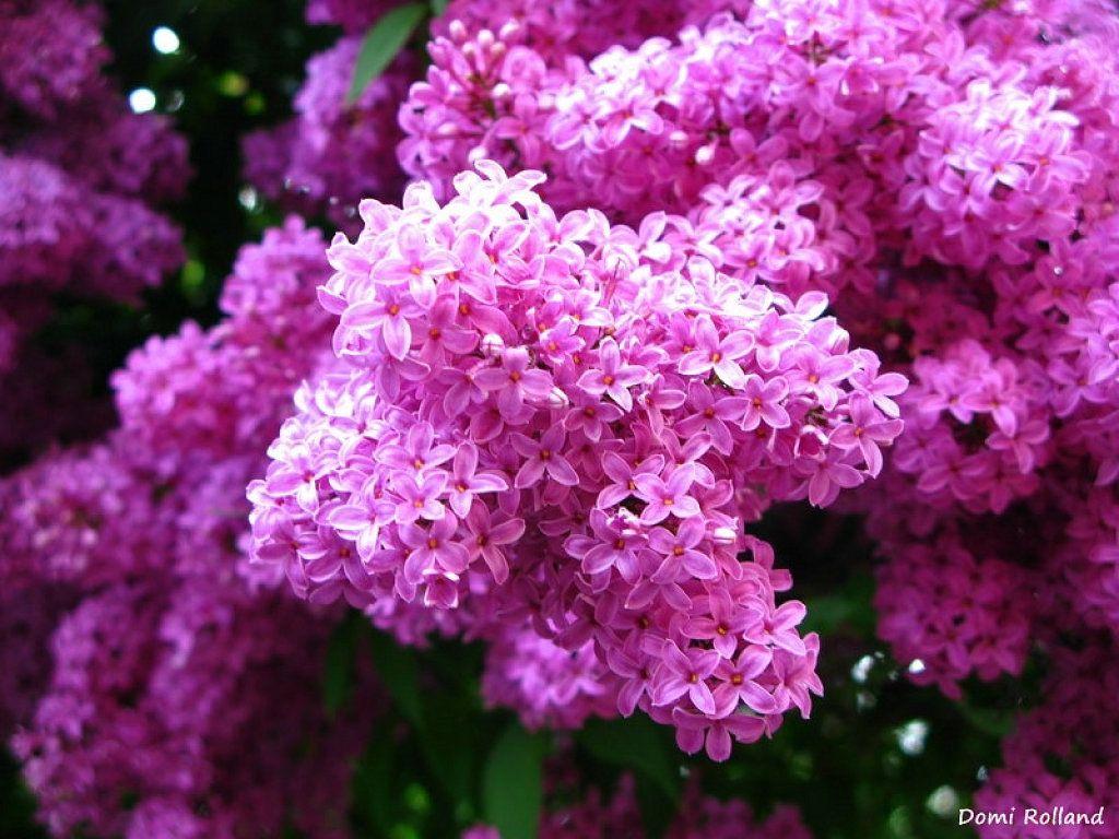 Los mejores arbustos de temporada arboles perennes - Arbustos perennes para jardin ...