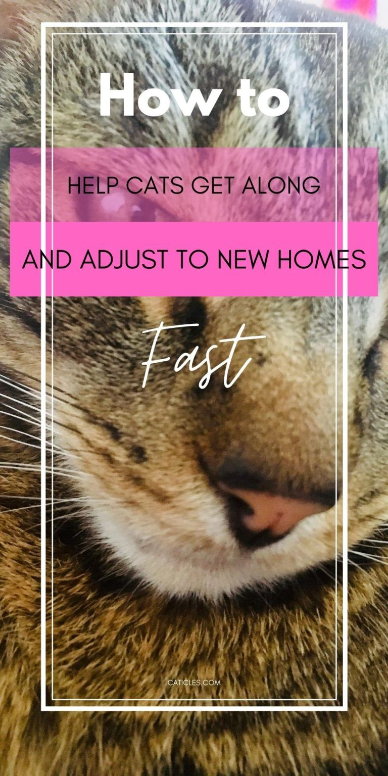 How To Introduce Cats Fast The Complete Guide To A Happy Household In 2020 How To Introduce Cats Cats Introducing A New Cat