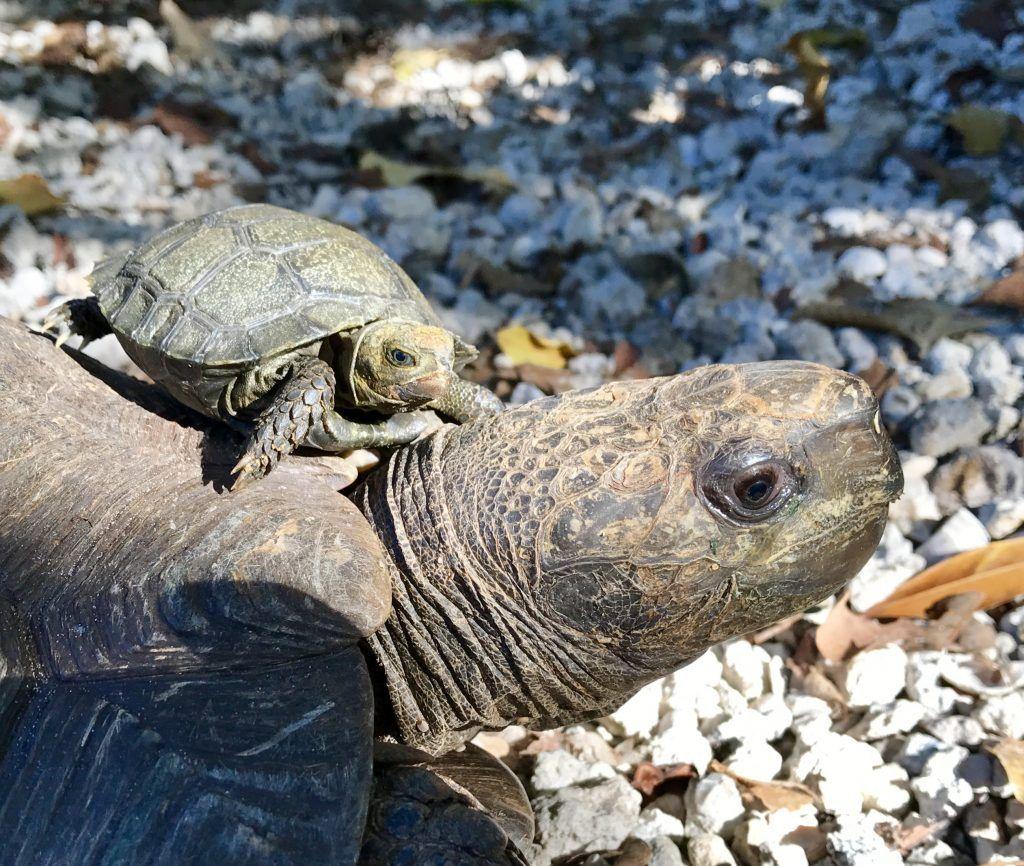 The Burmese Brown Mountain Tortoise Manouria Emys Emys Is A