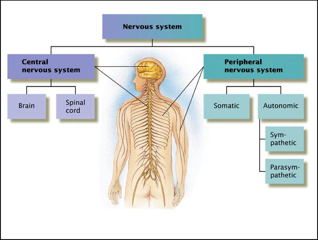 Nervous System1318518197944 Png 1080 815 Human Nervous System Peripheral Nervous System Nervous System