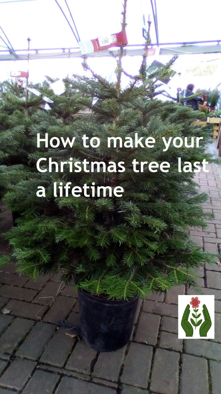 Buy The Right Christmas Tree And Never Have To Buy One Again Christmas Tree Tree Christmas