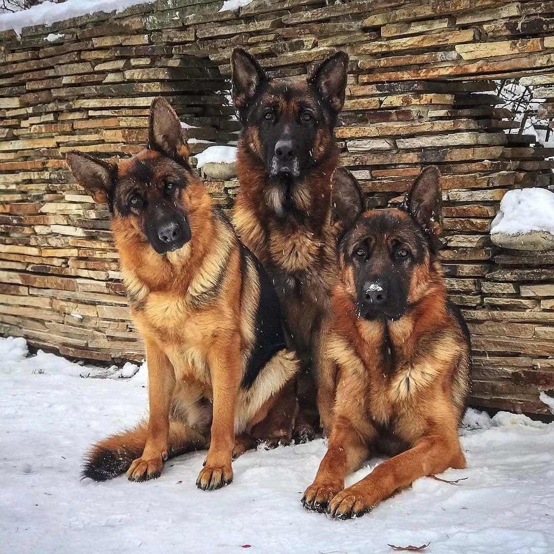 German Shepherd Dogs Lover Germanshepherddog