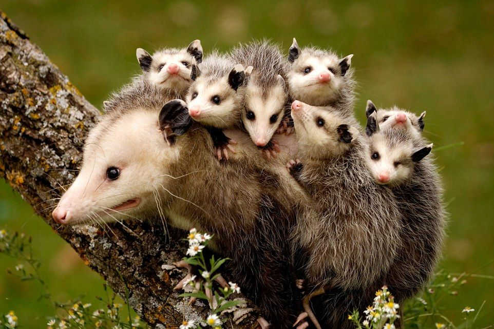 Charming Pictures Of The Maternal Bond Between Animals Baby Possum Cute Animals Baby Animals